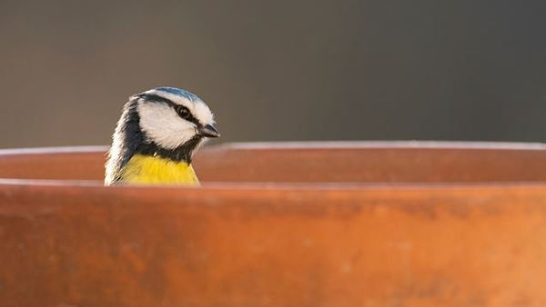 blue-tit-in-flowerpot-1.jpg