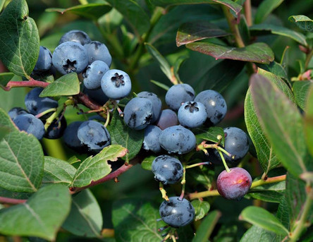 berry2.jpg