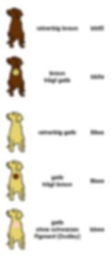 farbe-braun-gelb-labrador-retriever-labr