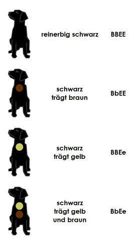 farbe-schearz-labrador-retriever-labrado