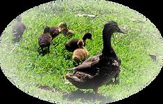 Ducks_edited.png