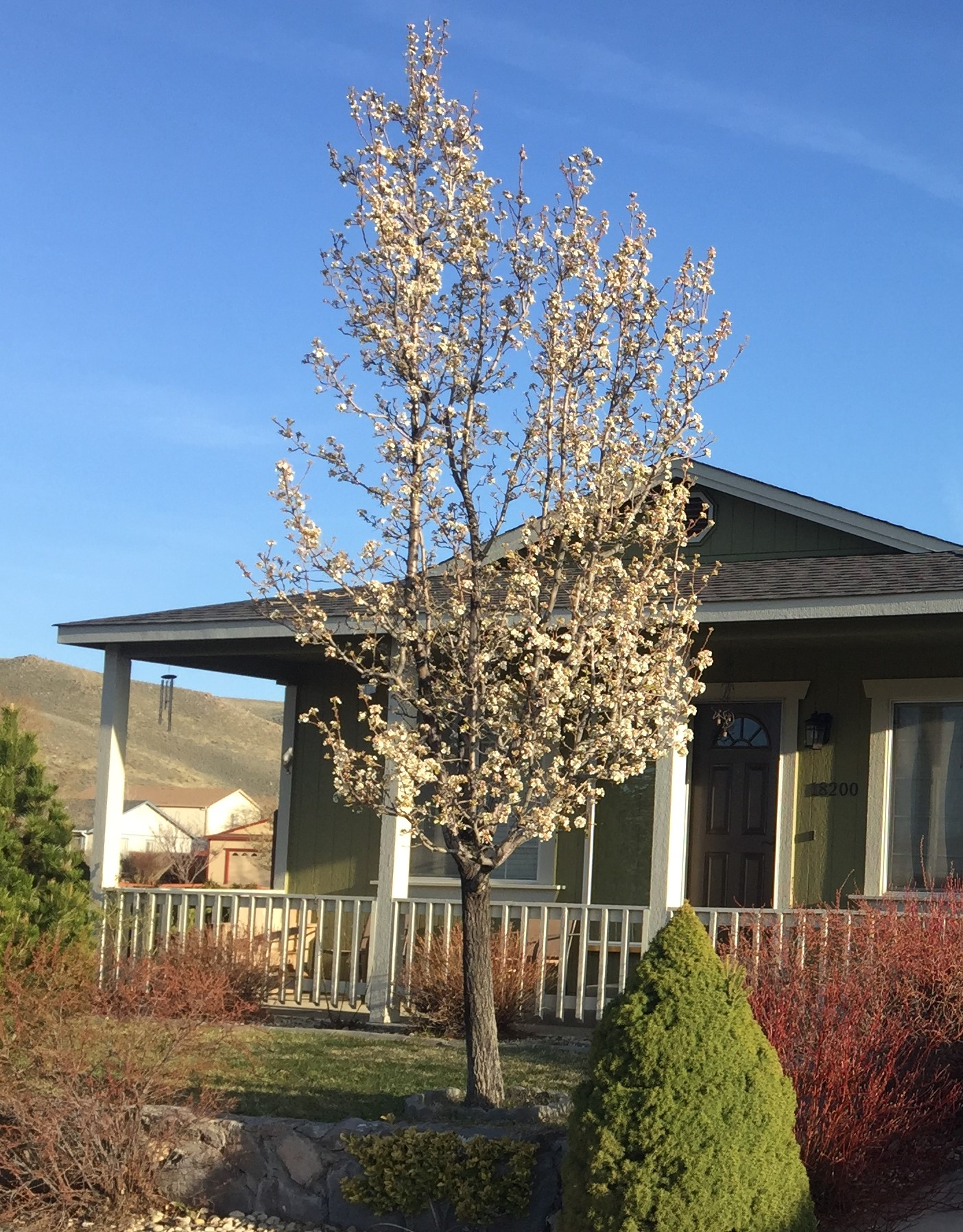 Ornamental tree pruning in Reno