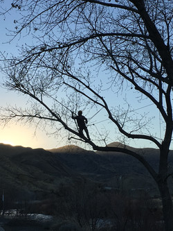 Reno tree service pruning a large tree