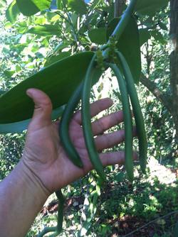 Wild Harvest Vanilla.JPG