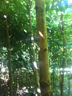 Cinnamon Tree.JPG