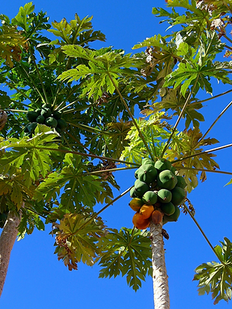 Wild PapayaTree-Carica.png