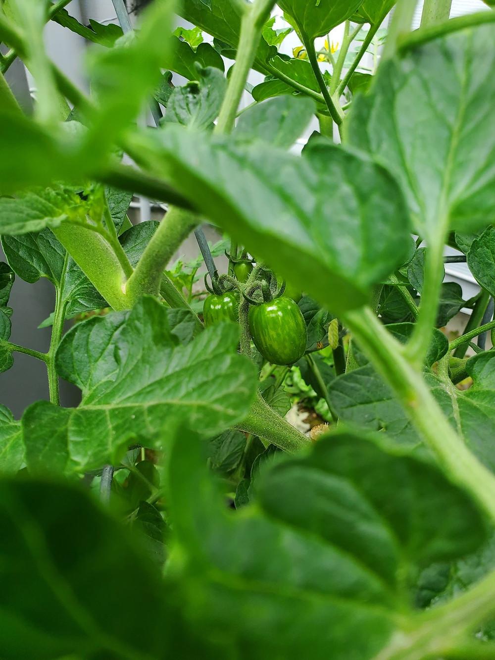 Peering through the foliage, a growing chocolate cherry tomato hangs.