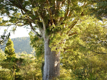 Kauri dieback – what you can do to help