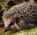 hedgehog-in-grass-dark.jpg
