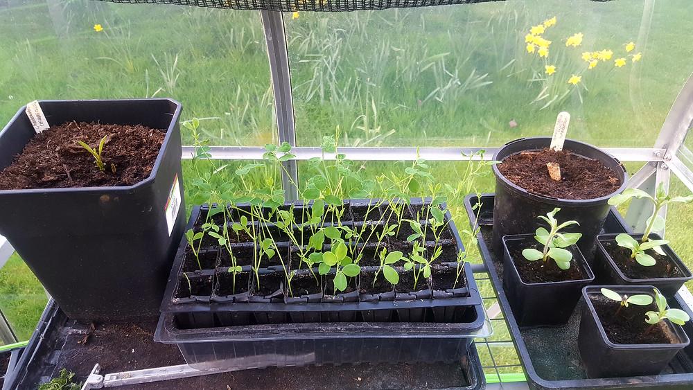 Chocolate cosmos, sweet pea seedlings, dahlia tuber, sunflower seedlings