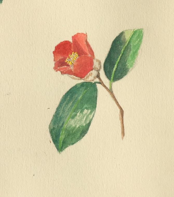 sketch of camellia