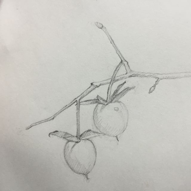 sketch of Chinese presimmon