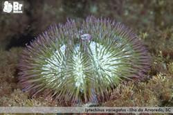 Lytechinus_variegatus
