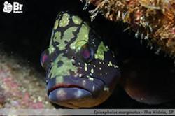 Epinephalus_marginatus