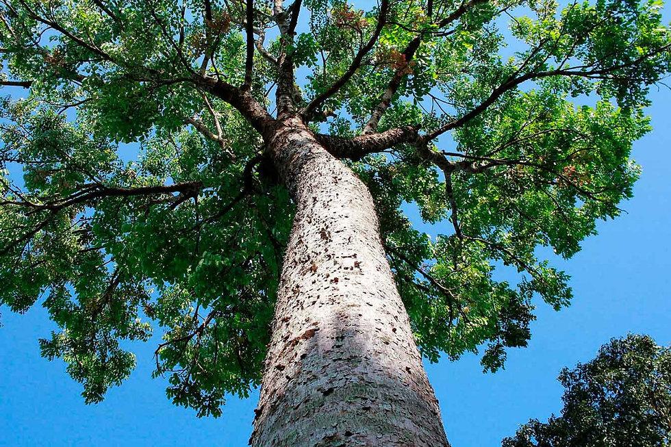 Árvore adulta de mogno africano
