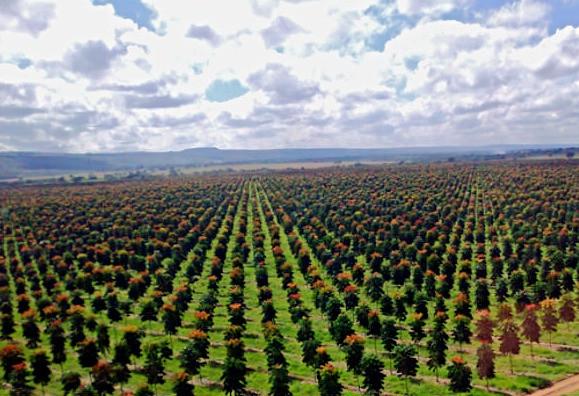 Em Pirapora (MG) está a floresta plantada dos empresários Ricardo Tavares e Edmundo Coutinho, onde eles cultivam mogno africano consorciado com banana prata e café. Em 15 anos, o lucro deles deve girar em torno de R$ 300 milhões