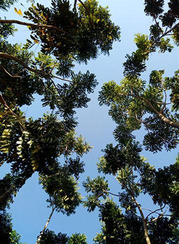 copas das árvores de mogno africano