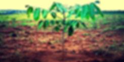 muda de mogn africano plantada | plantio