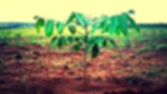Árvore de Mogno Africano