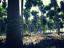 Tronco das árvores com 54 meses