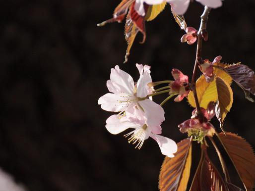 你知道嗎?櫻花盛開之際,也是日本國內「新年度」的開始