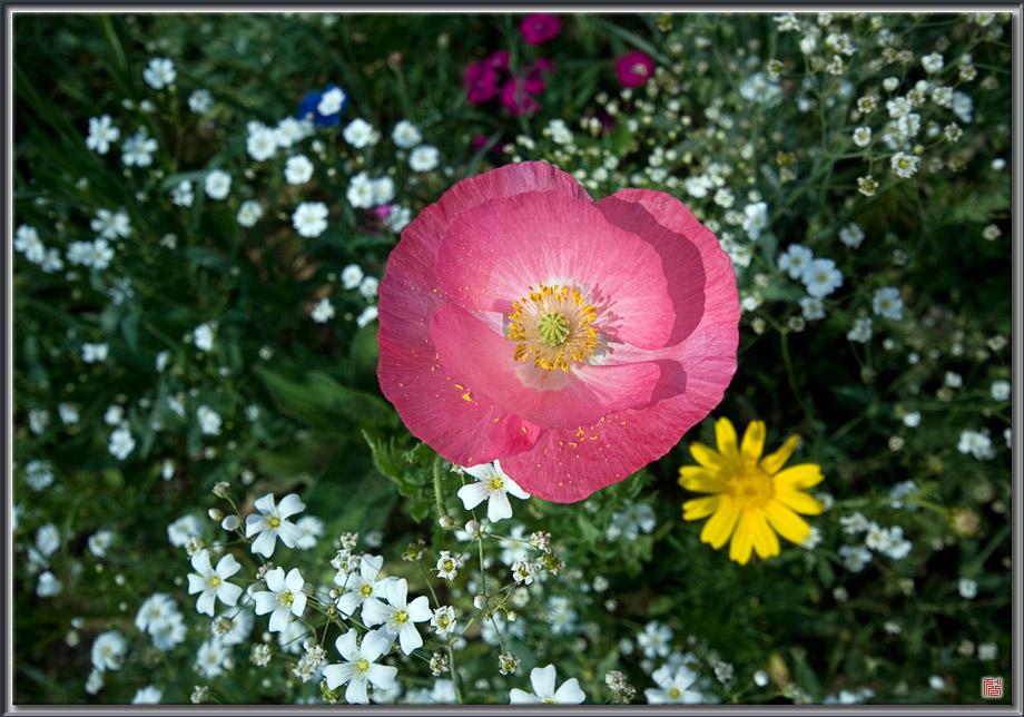 The poppy, July 2004