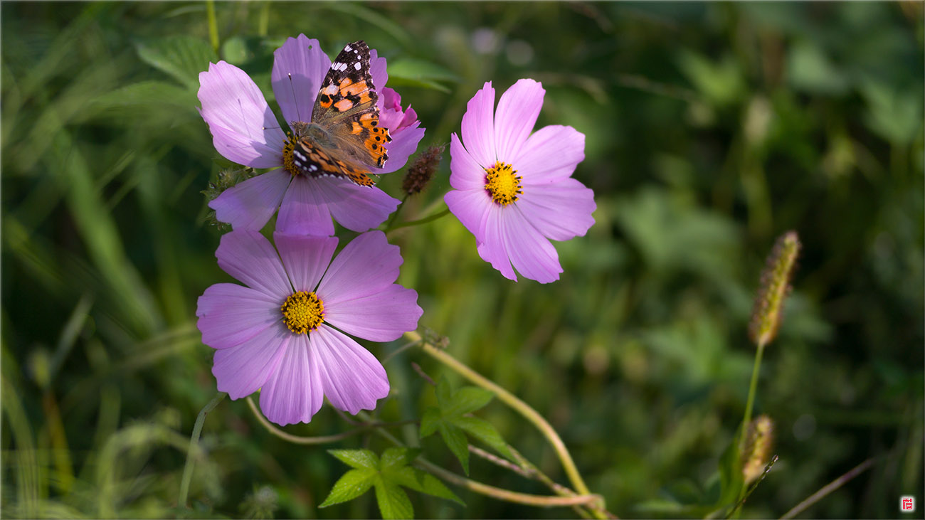 Butterfly and Cosmos, Sep 2014