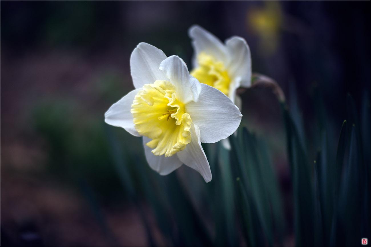 Tulip, Mar 24 2014