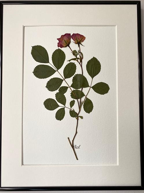 Rose Pressed Flower Botanical Art