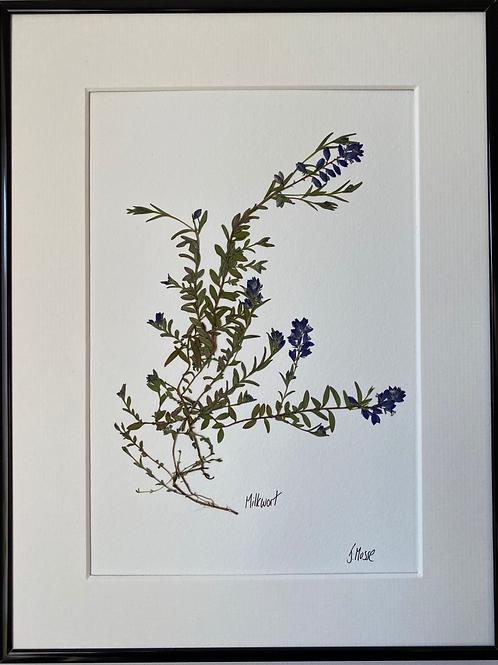 Milkwort Pressed Flower Botanical Art