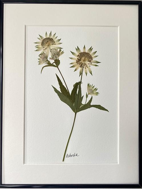 SOLD Astrantia Pressed Flower Botanical Art