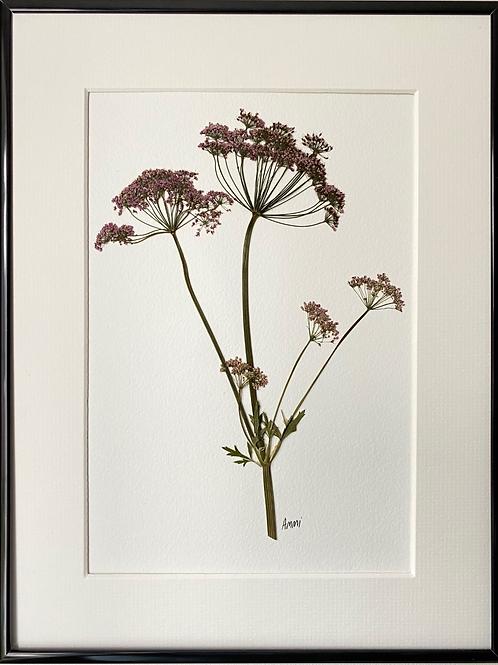 Ammi Pressed Flower Botanical Art