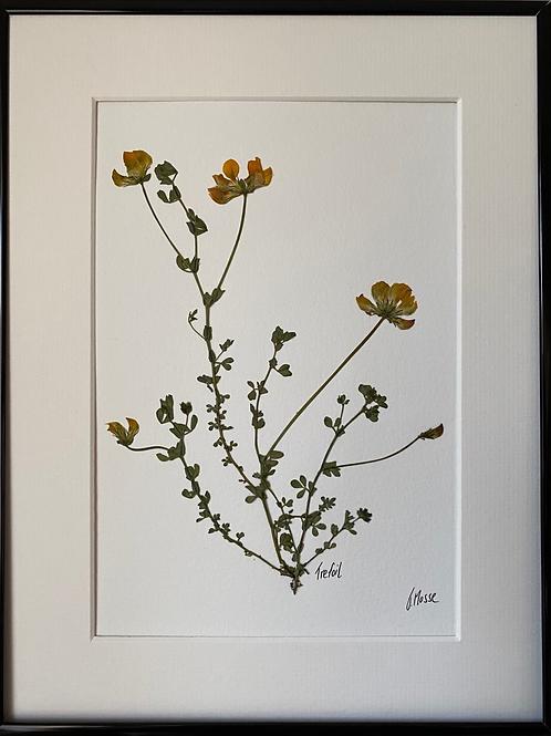 Trefoil Pressed Flower Botanical Art