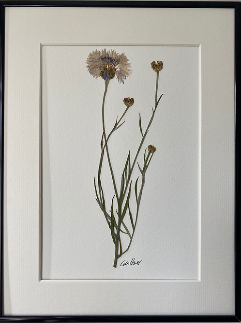 Cornflower Pressed Flower Botanical Art