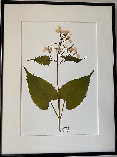 Honesty Pressed Flower Botanical Art