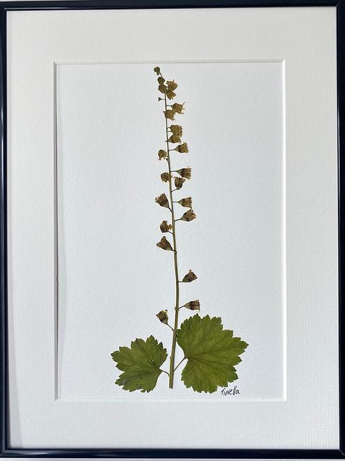 Tiarella Pressed Flower Botanical Art