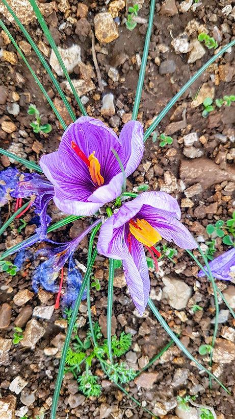 saffron .jpg