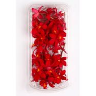 Epidendrum Red