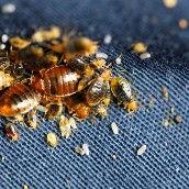 live-dead-bedbugs (2).jpg