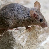 1-29-2018-are-mice-blind-feature-1024x54