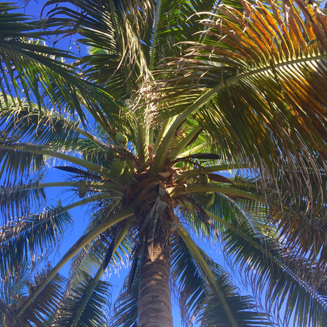 Palm Tree Canopy, your view from the hammock garden