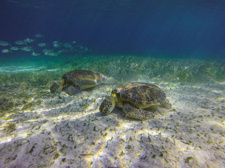 Snorkel with Sea Turtles