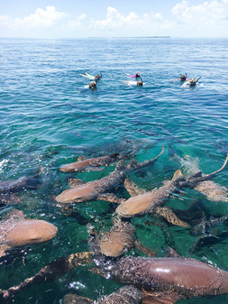 Shark Ray Alley, Swim with the nurse sharks!