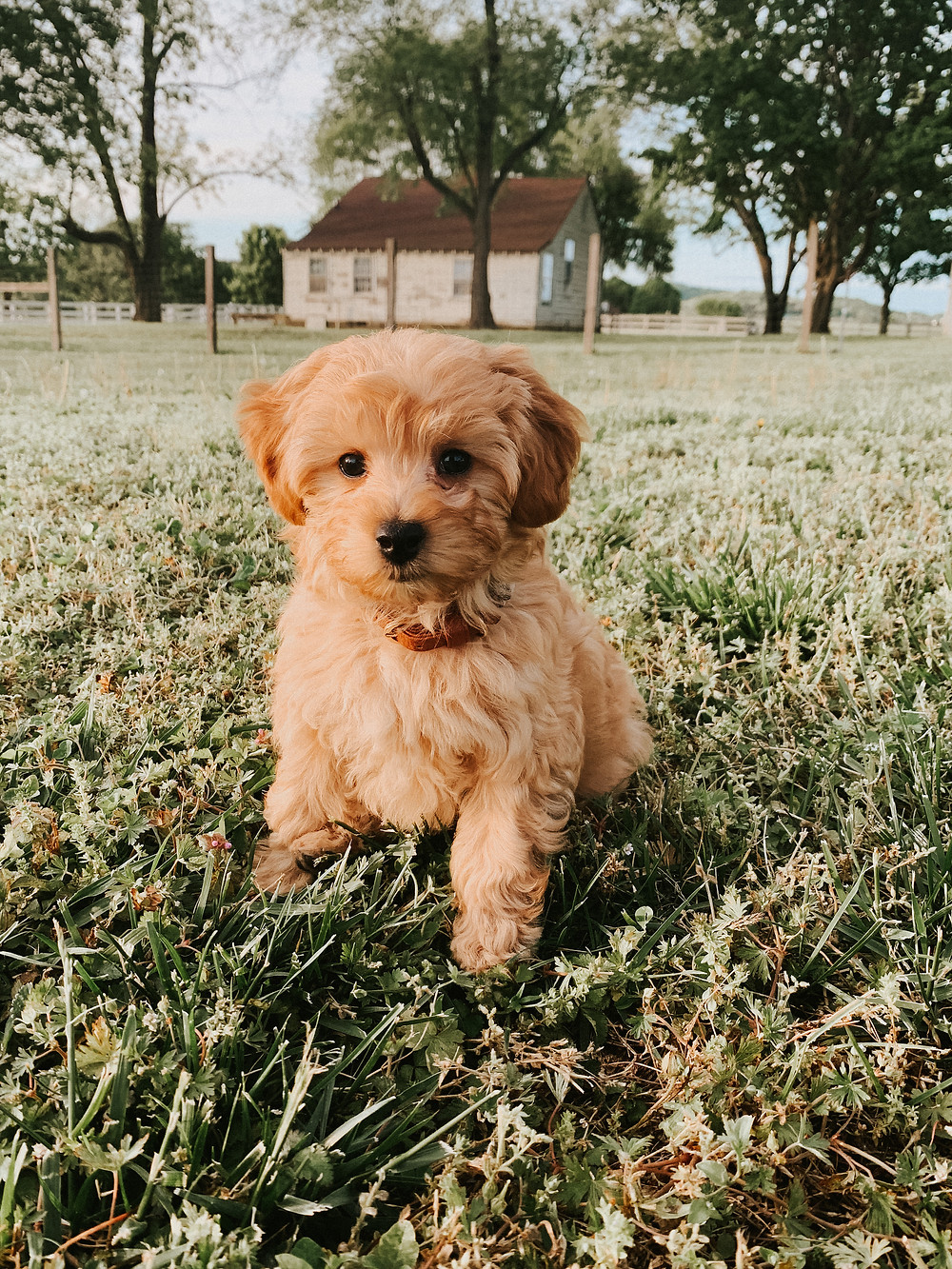 mini golden doodle puppy with an apricot colored coat in the grass in front of a farm house
