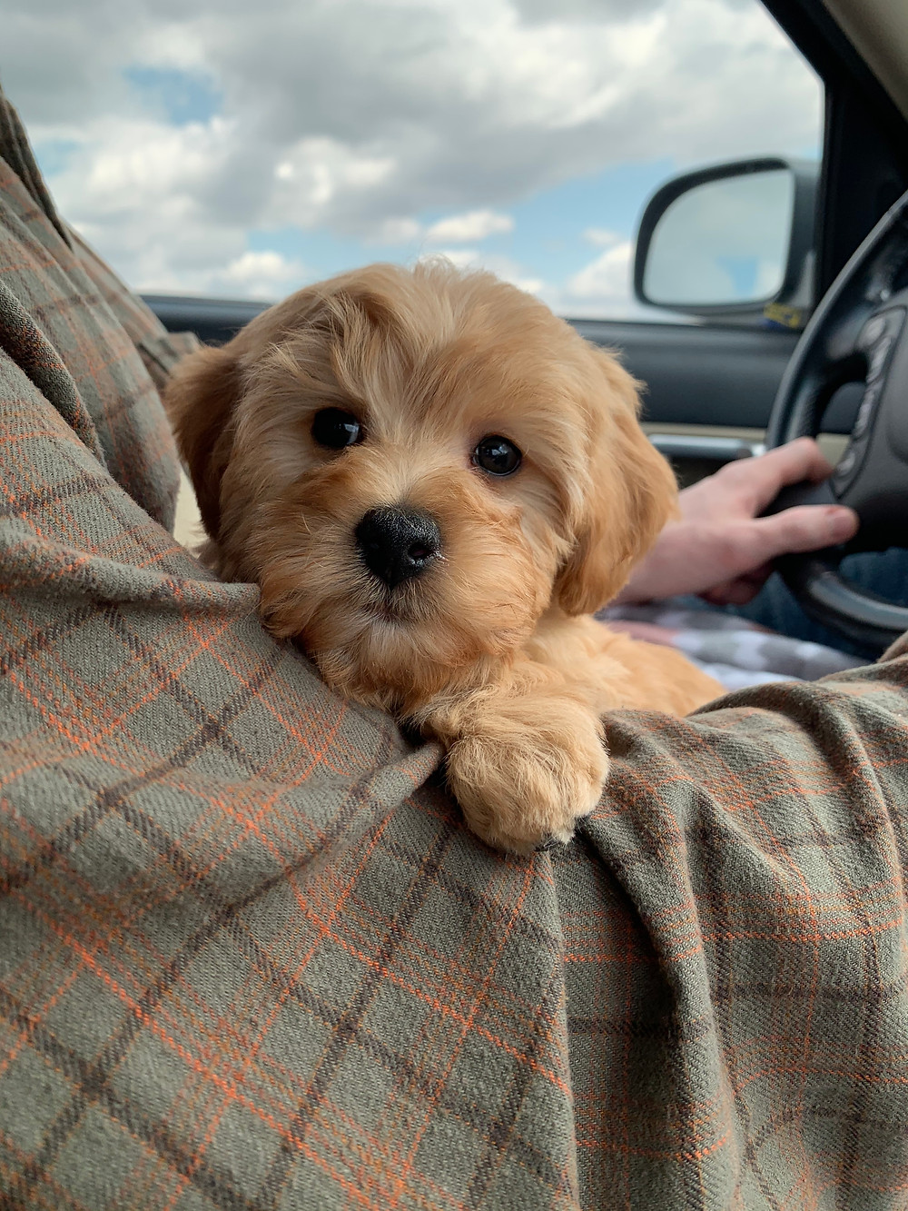 Mini golden doodle puppy sitting in my husband's lap while we drive home from the dog breeder in Indiana.
