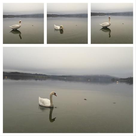 My Swan Lake (Windermere, UK)