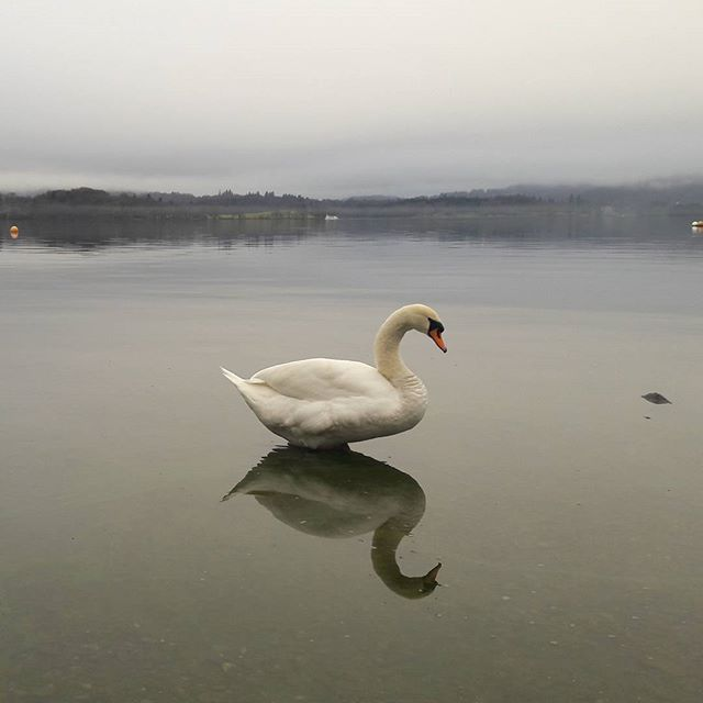 #swanlake #windermere #thelakedistrict #nofilter #nosunshine #stillwaters