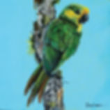 Yellow Cheeked Conure cmyk.jpg