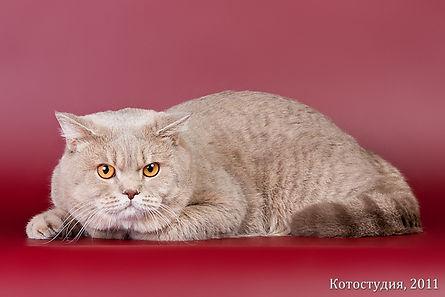 Британский короткошерстный кот Gr.E.Ch. Нарцисс Сказка Cat's Company c24. Окрас лиловый пятнистый