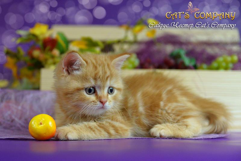 Сайрус Честер Cat's Company BRI d22